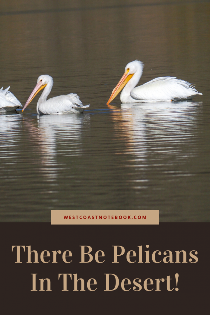 There Be Pelicans In The Desert