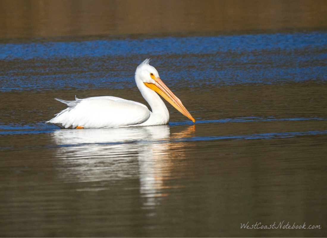 White pelican floating