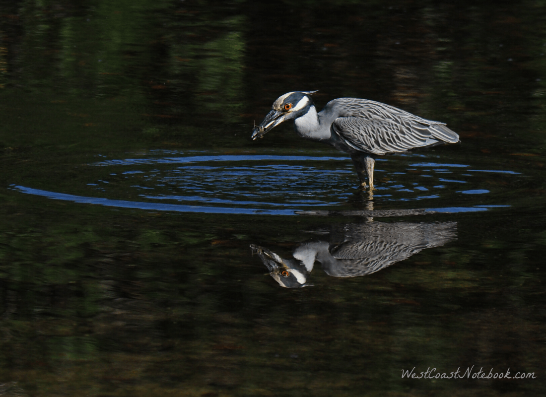 Yellow-crowned night heron with a crab