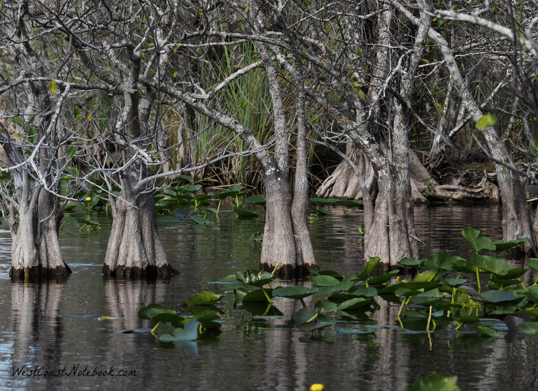 trees in the everglades