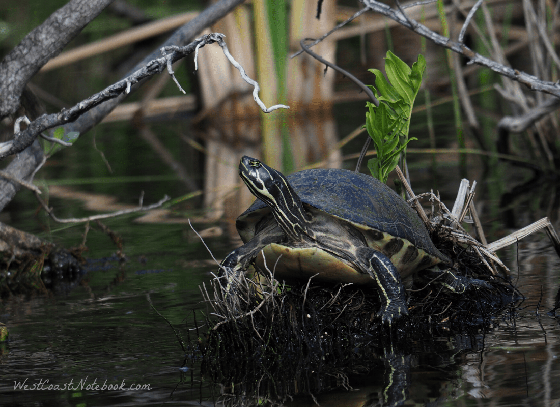 turtle in the Florida Everglades