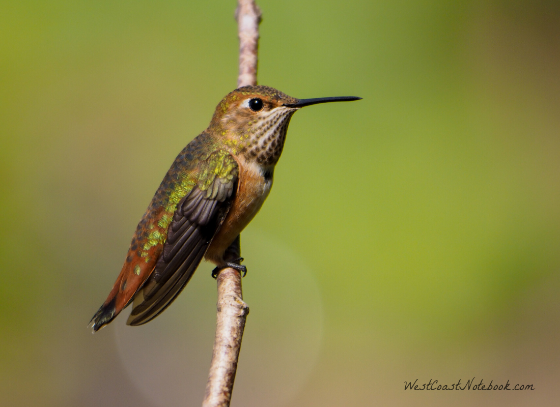 Rufous Hummingbird has arrived