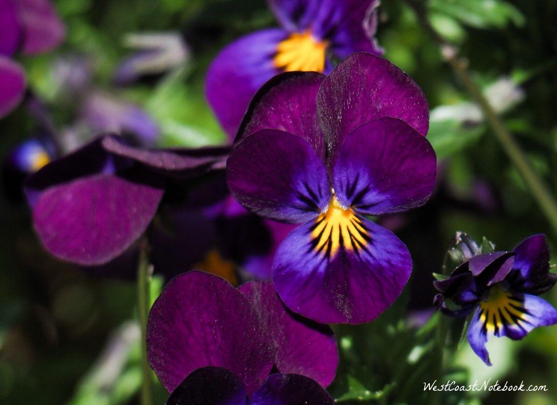 Halo Violet
