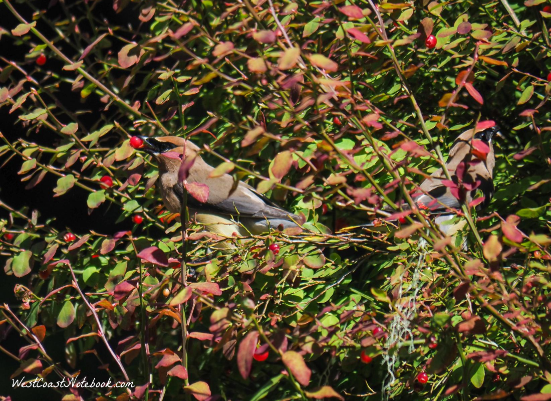 cedar waxwing eating huckleberries