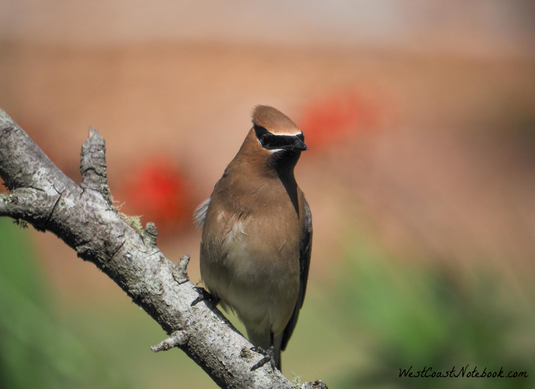 visit from a cedar waxwing